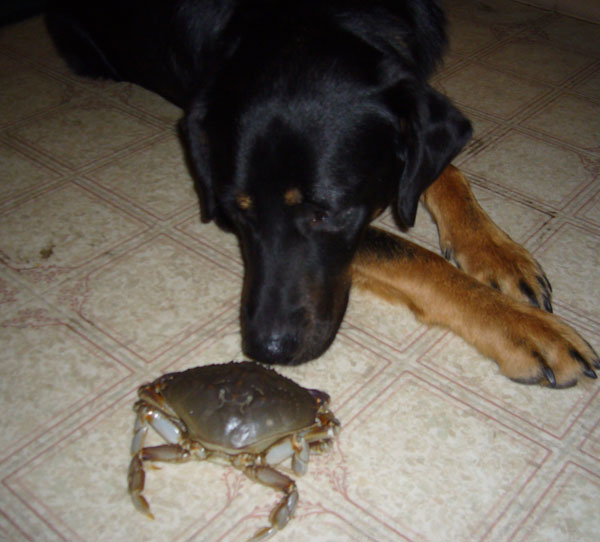 Jack, never crabby, investigates the catch of the day.